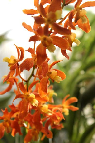 Christensonia vietnamica x Renanthera philippinensis