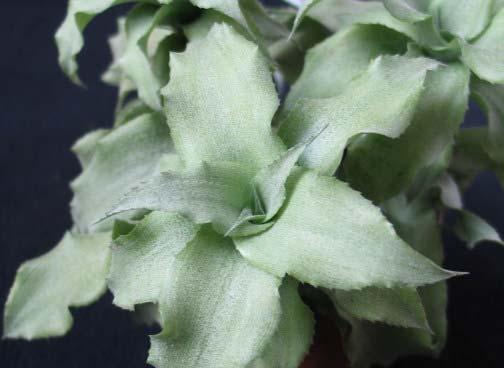 Cryptanthus acaulis var. argenteus