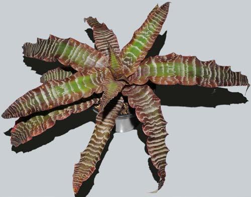 Cryptanthus fosterianus