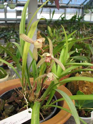 Cymbidium ensifolium 'Four Season'