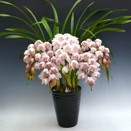 Cymbidium Lovely Smile 'Angel'