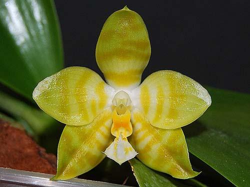 Phalaenopsis David Lim 'flava' (P. amboinensis 'flava' x P. gigantea)