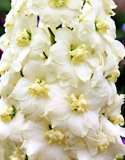 Delphinium elatum Cream flowered plants
