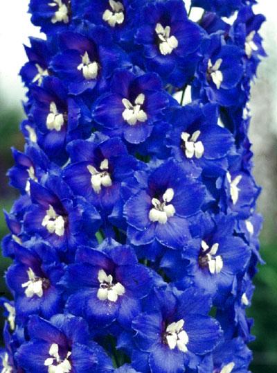 Delphinium elatum Deep blue with white bee