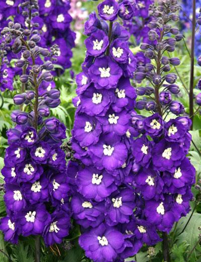 Delphinium elatum Purple Passion