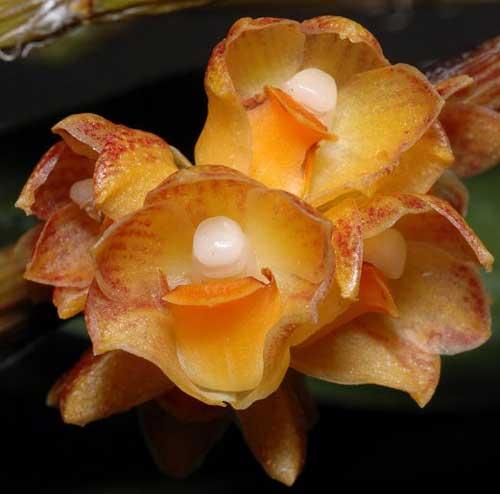 Dendrobium alterum
