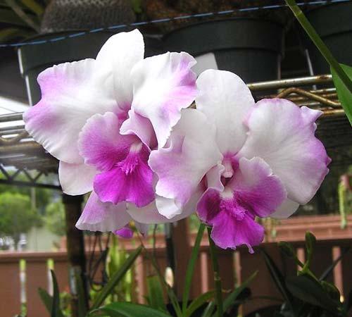 Dendrobium Anucha Flare