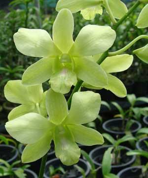 Dendrobium Aridang Green