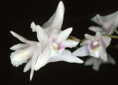 Dendrobium carinatum