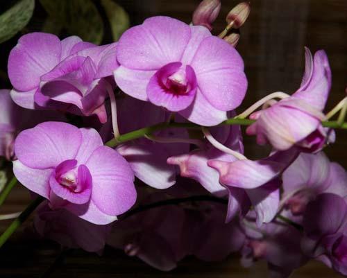 Dendrobium Chao Phaya Gems