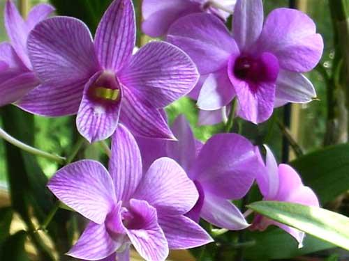 Dendrobium Chid Chom Blue