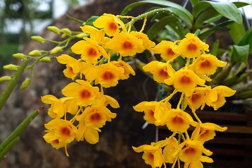 Dendrobium chrysotoxum (extra size)