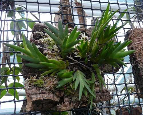 Dendrobium cultratum
