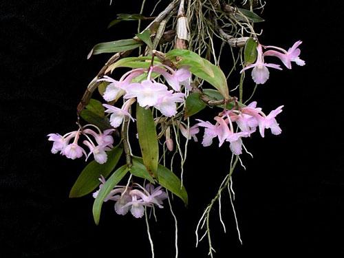 Dendrobium cumulatum