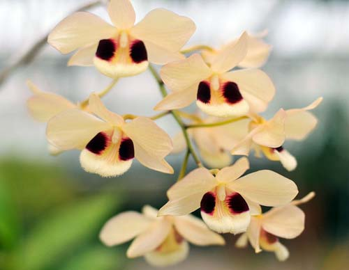 Dendrobium dalhousieanum