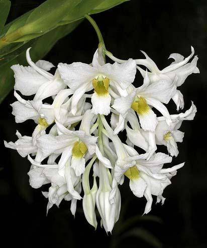Dendrobium dearei
