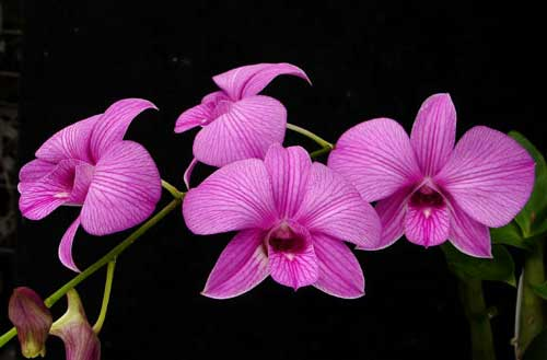 Dendrobium Emma Queen