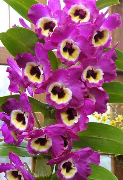 Dendrobium Emperor x self