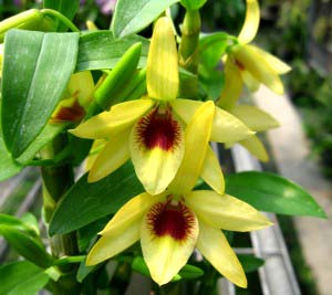 Dendrobium Gold Papillon 'Liberty Bell'