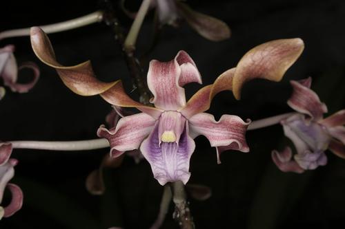Dendrobium Jairak Helix