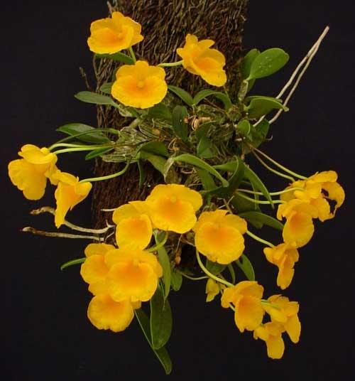 Dendrobium jenkinsii