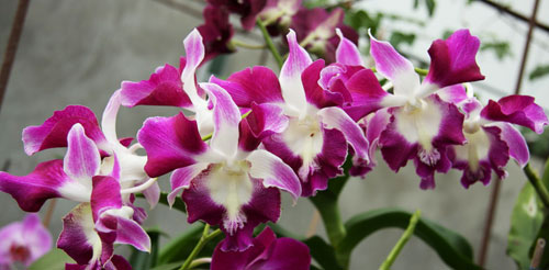 Dendrobium King Dragon x Supanburi White