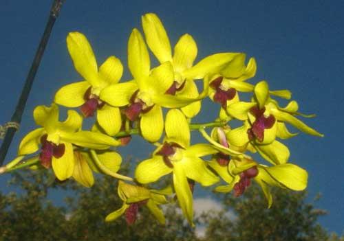 Dendrobium May Neal-Uraiwan