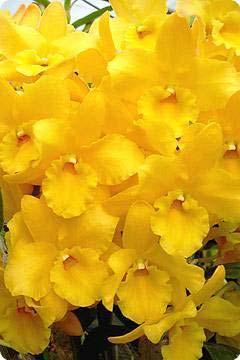 Dendrobium Midas 'Princess'