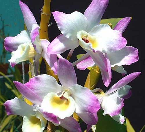 Dendrobium Mild Yumi x Dendrobium Utopia