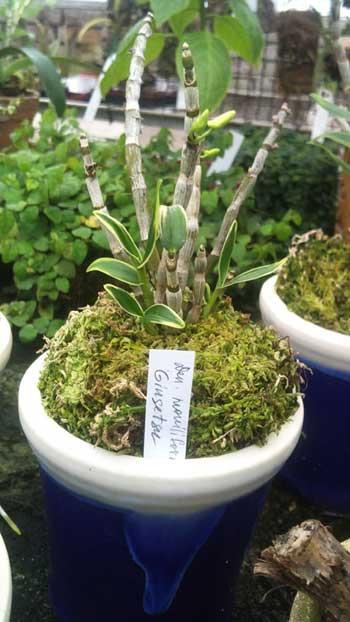 Dendrobium moniliforme Ginsetsu