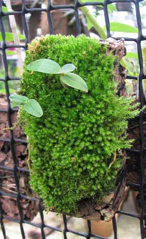 Dendrobium moniliforme Kinboshi