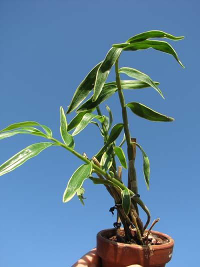 Dendrobium moniliforme Kinzankongo