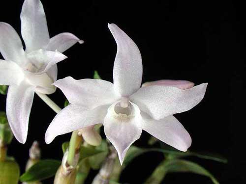 Dendrobium moniliforme Koganemaru