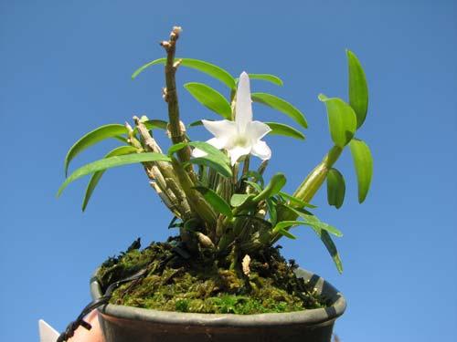 Dendrobium moniliforme Matsushima