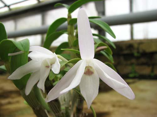 Dendrobium moniliforme Raizan