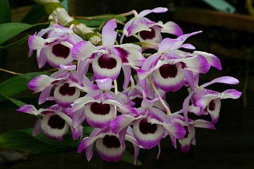 Dendrobium nobile var. cooksonianum