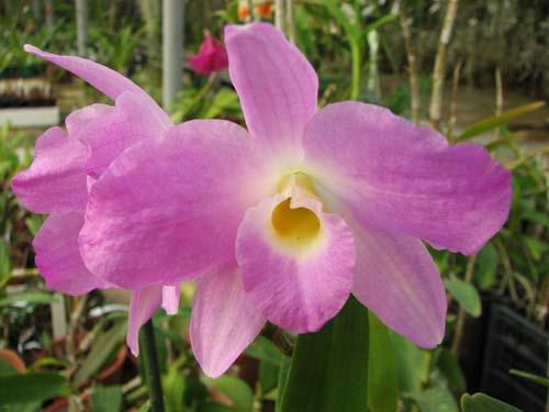 Dendrobium nobile var. sanderianum