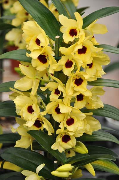 Пересадку дендробиума проводят в ...: orhideua-tut.besaba.com/razdeli/orhideya/orhideya-dendrobium-uhod...