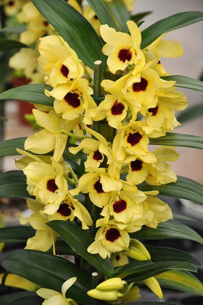 Dendrobium nobile yellow 'Dark Eye'