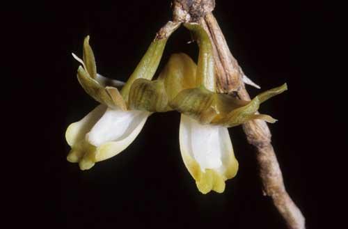 Dendrobium pachyglossum