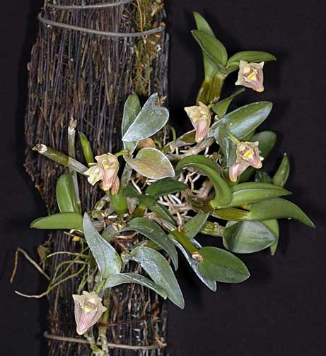 Dendrobium pachyphyllum