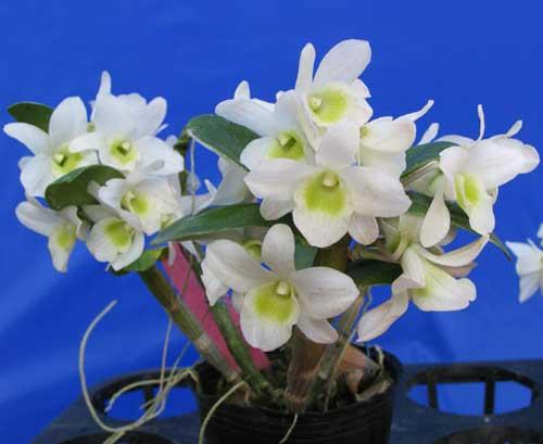 Dendrobium Pocket Lover 'Green Valley'