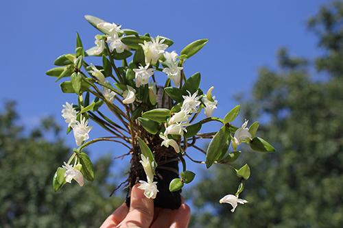 Dendrobium quadrangulare