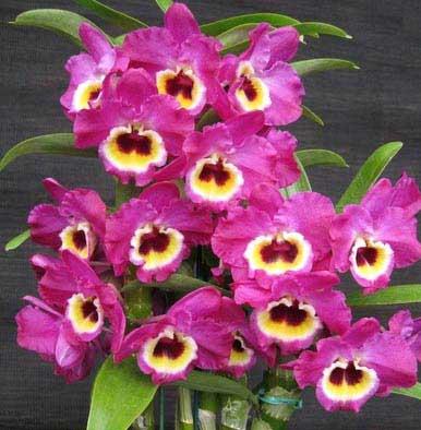 Dendrobium Red Emperor 'Prince'
