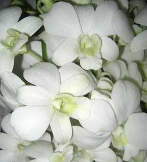 Dendrobium Sanan White