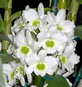 Dendrobium Spring Jewel 'Miki'