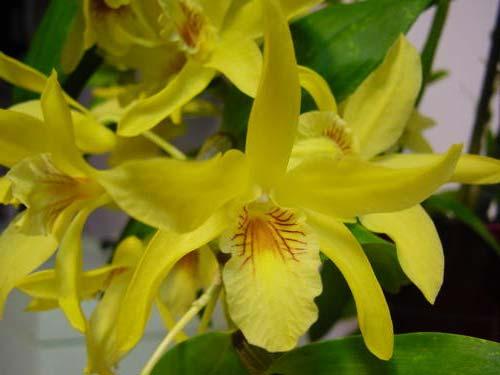 Dendrobium 'Stardust'