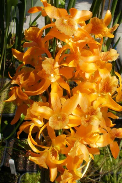 Dendrobium Stardust 'Orange'