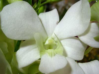 Dendrobium Supanburi Fancy
