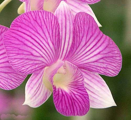 Dendrobium Thailand Stripe